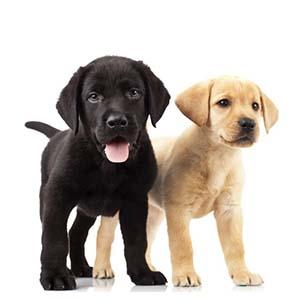 puppytest labrador pups blond en bruin