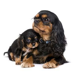 Puppytest Cavalier pup